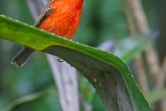 Madagaskarweber; red fody; Foudia madagascariensis