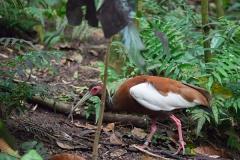 Mähnenibis; Madagascan ibis; Lophotibis cristata