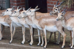Persische Kropfgazelle; goitered or black-tailed; Gazella subgut
