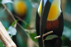 Dottertukan; channel-billed toucan; Ramphastos vitellinus