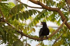 Großer Vasapapagei; greater vasa parrot; Coracopsis vasa